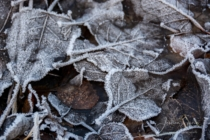 Frost 119