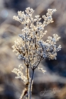 Frost 081