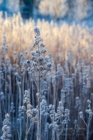 Frost 105