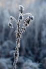 Frost 096